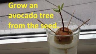 Grow Avocado tree from Seed - Easy way