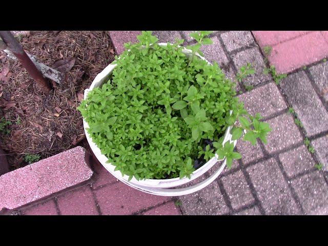 Quanh nhà ở Mỹ MVI1097: Cham Soc Rau Cay + Dao Xem Rau Co | Gardening