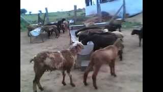 Sheep Farming in Hyderabad Livestock and Farms (HLSF), Andhra Pradesh, India