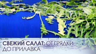 Свежий салат: от грядки до прилавка