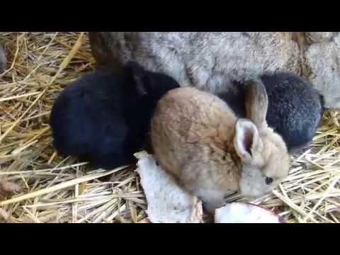 La ferme des 100 poules et... petits lapins élevés en bio