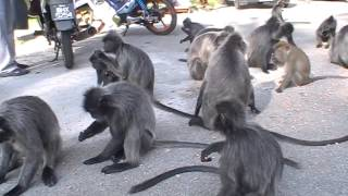 Batu Caves, Selayang Hot Spring, Silver Leaf Monkey & Fireflies Tour Mp3
