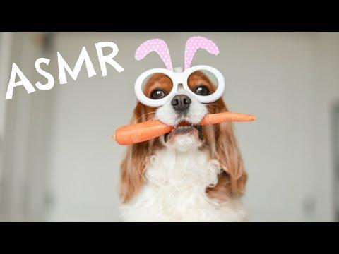 asmr-dog-eating-carrot-|-herky-the-cavalier