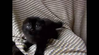 Скоттиш фолд черный окрас. Шотландские котята питомник Мелоди Соул. Продажа