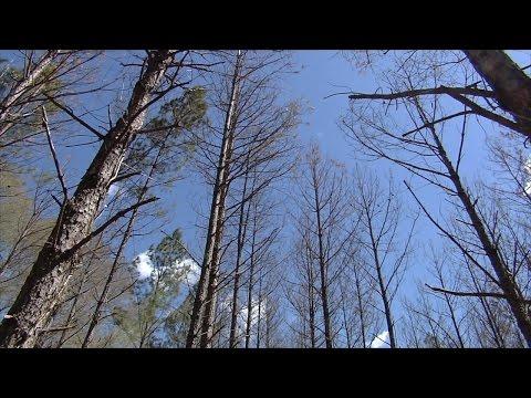 Ips Beetle A Major Threat To Georgia Pine Trees