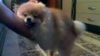 ржачное мега-порно пса-звезды или Сеня жжет