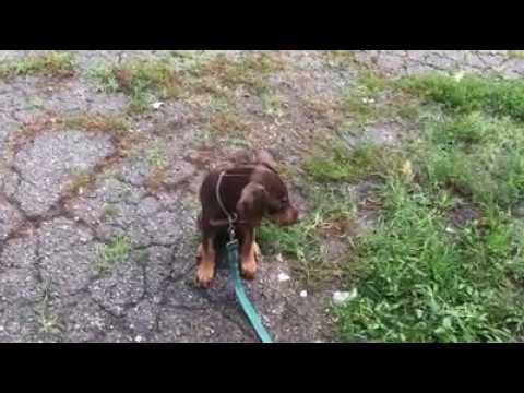 The Cutest Doberman Pinscher Puppy In The World