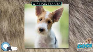 Wire Fox Terrier  Everything Dog Breeds