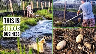 Collecting EGGS from Kyle's MASSIVE SALTWATER CROCS!