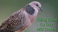 Chim cu gáy || Tiếng chim cu gay mồi chuẩn cực hay
