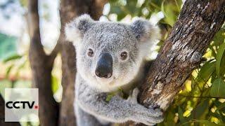 Документальные фильмы: Посланец дружбы Серия 1 Коала из Австралии