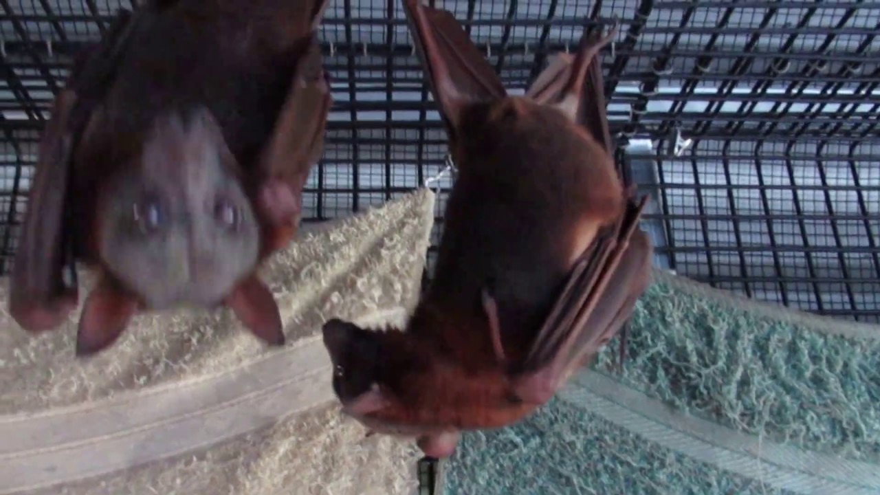 Pregnant bat is having a baby!