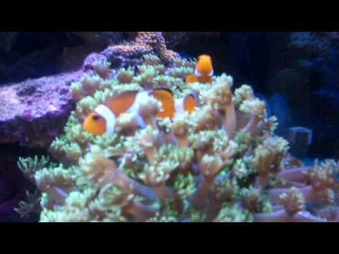 Clown Fish Hosting In Flower Pot Coral.