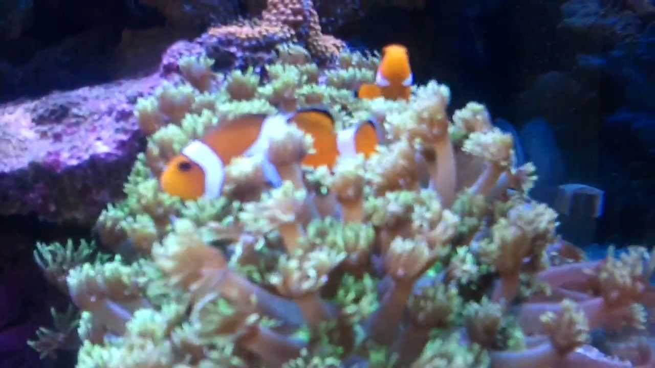 Clown fish hosting in flower pot coral youtube for Buy clown fish