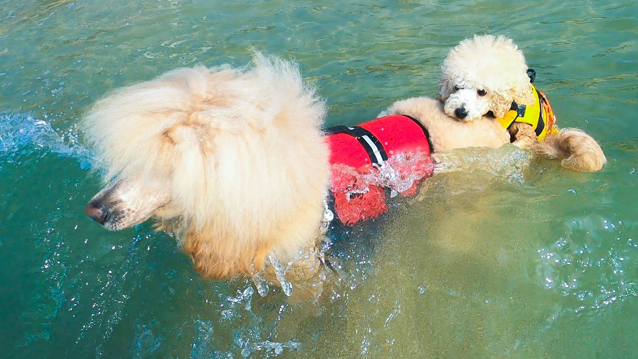 푸들 브라더스 바다수영 2탄: 형, 잘 부탁해 (Poodle bros' sea swim challenge: Dory's dependence on his big bro)