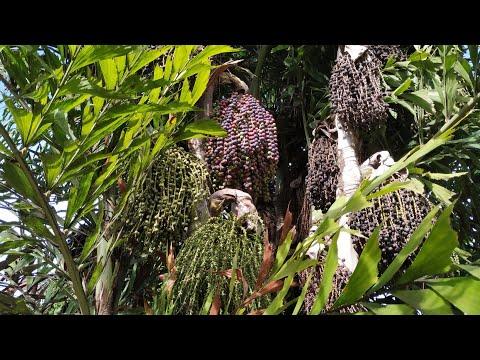 Tasting Fishtail Palm (Caryota Cf Urens)