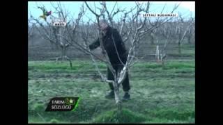 Şeftali Yetiştiriciliği Şeftali Ağacının Budanması 10. Bölüm