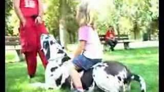 Germany's biggest dog great dane Bodyguard-Deutschlands größter Hund