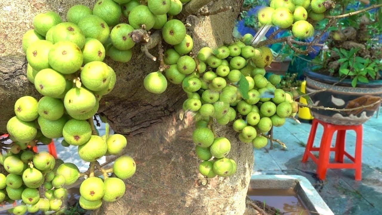 Rẻ quá, từ 300 đến 500 nghìn là có cây sung siêu quả, báo giá những cây đẹp – cheap bonsai trees
