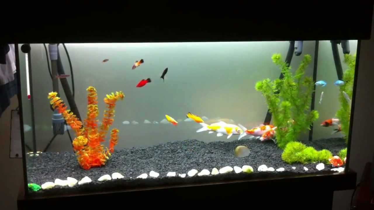 Koi carp aquarium nishikigoi 1 youtube for Coy fish tank