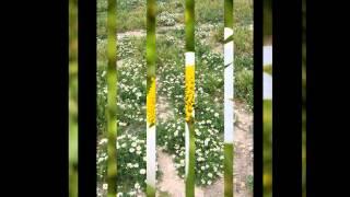 АНАЦИКЛЮС  /ANACYCLUS( растения/plants)( HD slide show)!