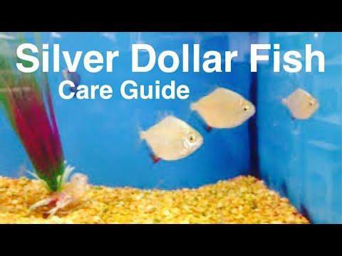 Silver Dollar Fish Care, Tank Mates, & Size of Aquarium