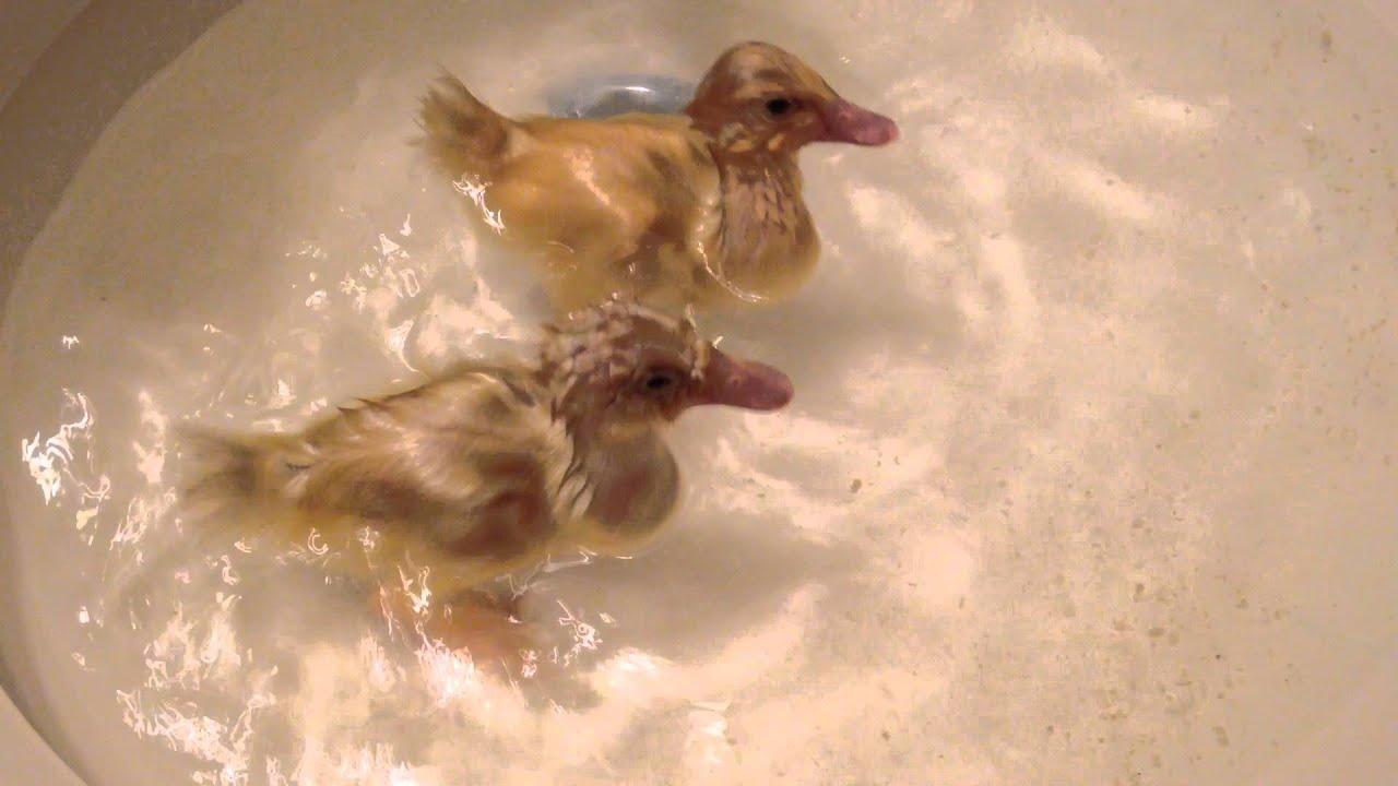 Ducks swimming (Texas) - YouTube