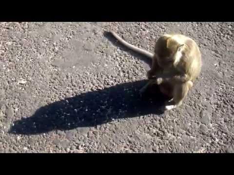 Legenda 99 Monyet (99 Monkeys) di Plangon Cirebon