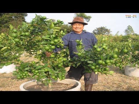 WOW! Amazing Agriculture Technology - Lemon tree