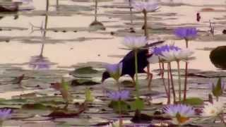 Purple Gallinule - Brushline Rd
