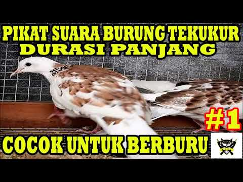 Turtle Dove Sound Long Duration ( For Hunting )