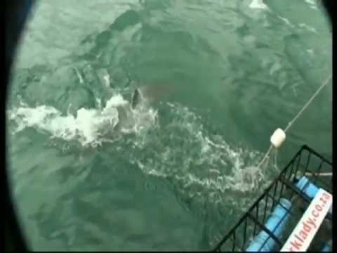 South Africa Sea Wildlife - Great White Shark cage dive, breaching whales,  penguins & Gape Gannets