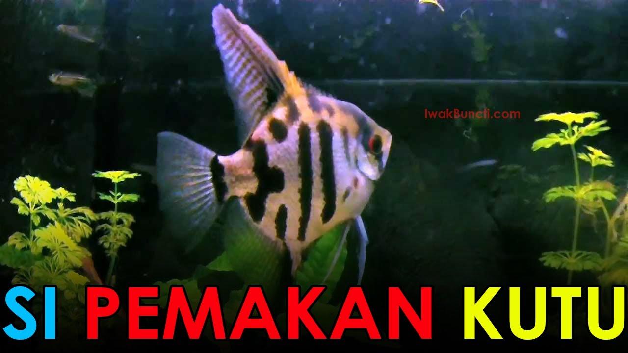 2 Manfaat Ikan Manfish Satu Aquarium Dengan Ikan Mas Koki Yang Jarang Diketahui Orang