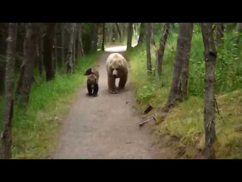Clint August - Bear and two cubs chasing a hiker in Alaska