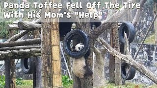 Panda Toffee Fell Off The Tire With His Mom's