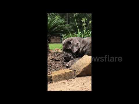 Large dog unexpectedly becomes friends with baby bird