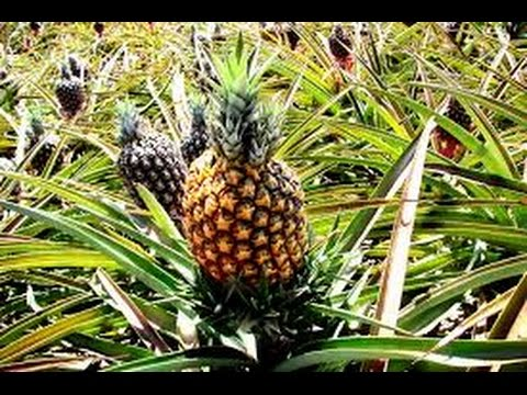 Cultivo de Piña, Características y recetas (Anana) - TvAgro por Juan Gonzalo Angel