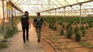 La Guardia Civil interviene 4.500 plantas de marihuana en Es Pil-larí