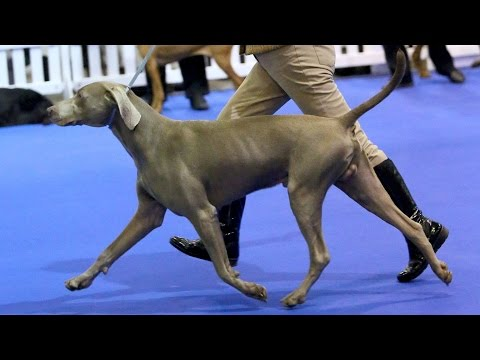 Manchester Championship Dog Show 2015 - Gundog group