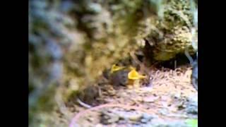 Гнездование зарянки. Nesting of Robin (Erithacus rubecula).