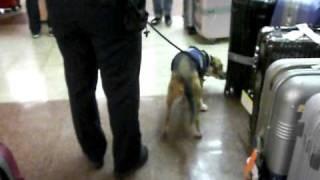 ハワイのホノルル空港で働くビーグルの検疫犬です。<Honolulu Internat...