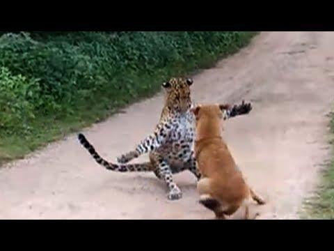 Leopard attacks dog, dog barks at it, frightened leopard skulks away  Amazing!