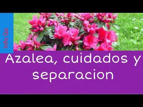 Cuidados de la azalea separaci n riego sol y trasplante - Azalea cuidados planta ...