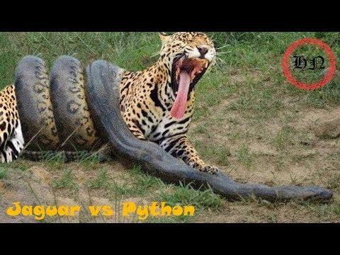 Дикая природа Ягуар против питона   столкновение врагов   животный мир