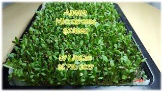 Alfalfa Microgreens (Soiless)