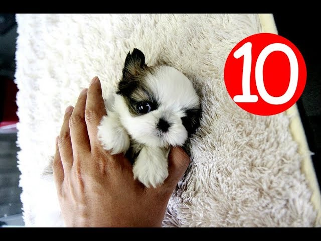 Top 10 Cutest Pocket Dog Breeds You