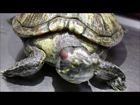 Final Video: A 33-year-old red eared slider is not eating