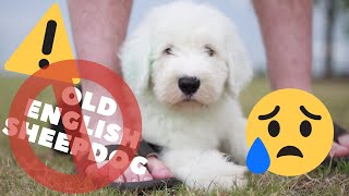 10 Reasons NOT to get an Old English Sheepdog┃Ed&Mel
