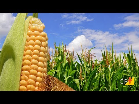 Curso a Distância Produção de Milhos Especiais