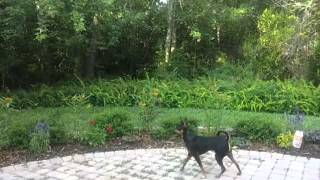 Min Pin Chases Monarch Butterfly Bonita Springs Florida Butterfly Garden